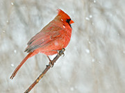 Birders Framed Prints - Male Cardinal Braves The Snow Framed Print by John Radosevich