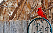 Omaha Ne Photos - Male Cardinal by Edward Peterson