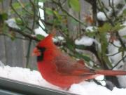 Deborah Anderson - Male Cardinal in the Snow