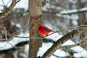 Ron Smith Posters - Male Cardinal in Winter Poster by Ron Smith