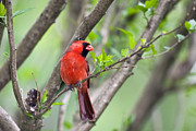 Red Photographs Photo Prints - Male Cardinal Print by Rob Travis