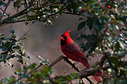 Ron Smith Framed Prints - Male Cardinal Framed Print by Ron Smith