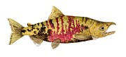 Salmon Paintings - Male Chum Salmon in Spawning Colors by Thom Glace
