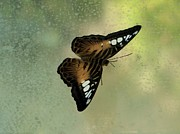 Brown Clipper Photos - Male Clipper Butterfly by Lorrie Bible