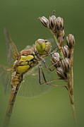 Andy Astbury - Male Common Darter