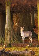 Wild Grass Posters - Male Deer In Forest Poster by John Short