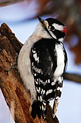 Goose Island Park Framed Prints - Male Downy Woodpecker 2 Framed Print by Larry Ricker