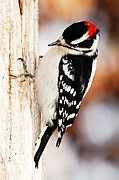 Larry Bird Art - Male Downy Woodpecker 3 by Larry Ricker