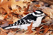 Goose Island Park Framed Prints - Male Downy Woodpecker 4 Framed Print by Larry Ricker