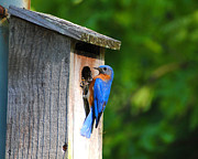 Avian Posters - Male Eastern Bluebird II Poster by Jai Johnson