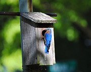 Avian Posters - Male Eastern Bluebird Poster by Jai Johnson