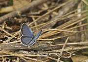 Mgp Photograph Posters - Male Eastern Tailed Blue Butterfly 3060 Poster by Michael Peychich