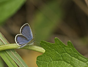 Blue Butterflies Posters - Male Eastern Tailed Blue Butterfly 3063 Poster by Michael Peychich