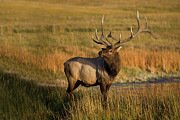 Safari Animals Posters - Male Elk, Yellowstone, Np Poster by Image provided by Raymond J Barlow