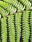 Frond Prints - Male Fern (dryopteris Filix-mas) Print by Adrian Bicker