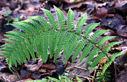 Leaflets Prints - Male Fern Frond Print by Dr Keith Wheeler