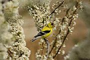 Cathy  Beharriell - Male Finch in Blossoms