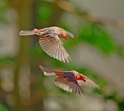 Red Finch Originals - Male Finchs by SB Sullivan