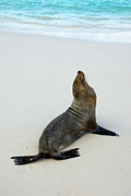 Male Galapagos Sea Lion Standing On Beach Print by Sami Sarkis