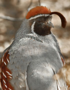 Quail Photos - Male Gambels Quail portrait by Steven Love