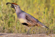 Quail Photos - Male Gambels Quail by Steven Love