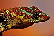 Male Gecko (gonatodes Humeralis) Print by Paul Bertner