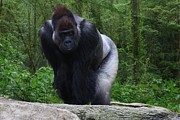 Anthony Wilder - Male Gorilla