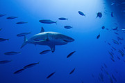 Sharks Photo Posters - Male Great White Shark And Bait Fish Poster by Todd Winner