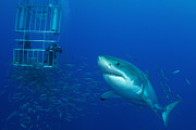 Ocean Photography Photos - Male Great White Shark And Divers by Todd Winner