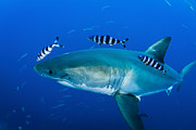 Fish Photo Prints - Male Great White Shark And Pilot Fish Print by Todd Winner
