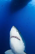 Carcharodon Prints - Male Great White Shark Showing Teeth Print by Todd Winner