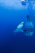 Carcharias Posters - Male Great White With Cage, Guadalupe Poster by Todd Winner