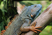 Iguana Metal Prints - Male Green Iguana Metal Print by Tom Schwabel