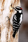 Goose Island Park Framed Prints - Male Hairy Woodpecker Framed Print by Larry Ricker