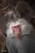 Cheeky Photo Framed Prints - Male hamadryas baboon Framed Print by Andrew  Michael