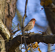 Diane Giurco - Male House Finch