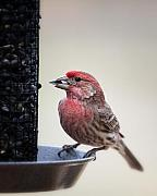 Carpodacus Mexicanus Photo Posters - Male House Finch feeding Poster by Al  Mueller