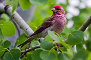 Carpodacus Mexicanus Photo Posters - Male House Finch Poster by Merle Ann Loman