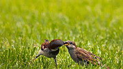 Feeding Birds Posters - Male House Sparrow Feeding Female Poster by Bill Tiepelman