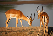 Gazelle Framed Prints - Male Impala Framed Print by Gualtiero Boffi