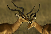Horned Animals Framed Prints - Male Impalas Grooming Framed Print by Manoj Shah