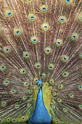Peacock Metal Prints - Male Indian Peacock Metal Print by Daniela Duncan