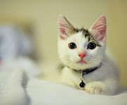 Male Kitten Sitting On Bed Print by Nazra Zahri