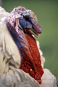 Turkey Prints - Male Large White Turkey Print by Science Source