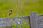 Meadowlark Originals - Male Lilians Meadowlark by Brenda Becker