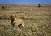 Big Cats - Male Lion in Serengeti by Darcy Michaelchuk