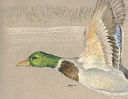 Original Art Pastels Originals - Male Mallad in Flight by Flo Hayes