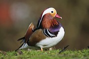 Coloured Plumage Prints - Male Mandarin Duck Print by Colin Varndell