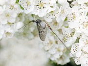 Flower Order Posters - Male Mayfly Poster by Adrian Bicker