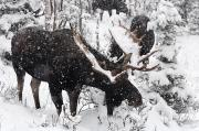 Grazing Snow Prints - Male Moose Grazing In Snowy Forest Print by Philippe Henry